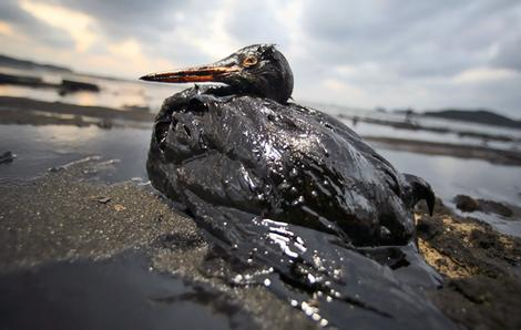 In a photo released by Korean Federation for Environmental Movement, a bird covered in fuel oil from the spill sits on the beach near Mallipo, South Korea.