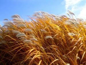 wheat under the sun