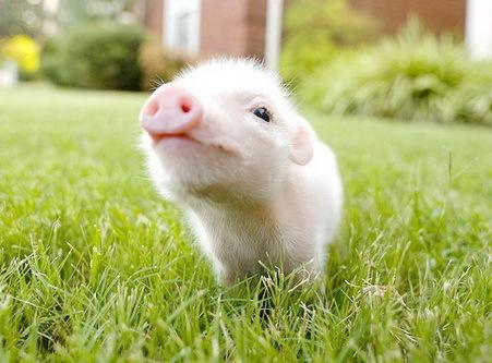 cute baby pig